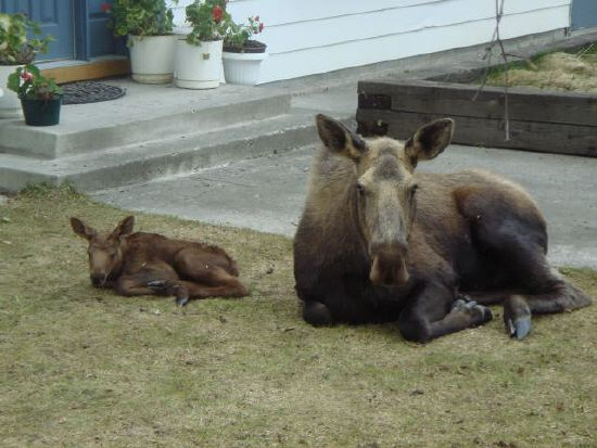 Momma and Baby Moose resting