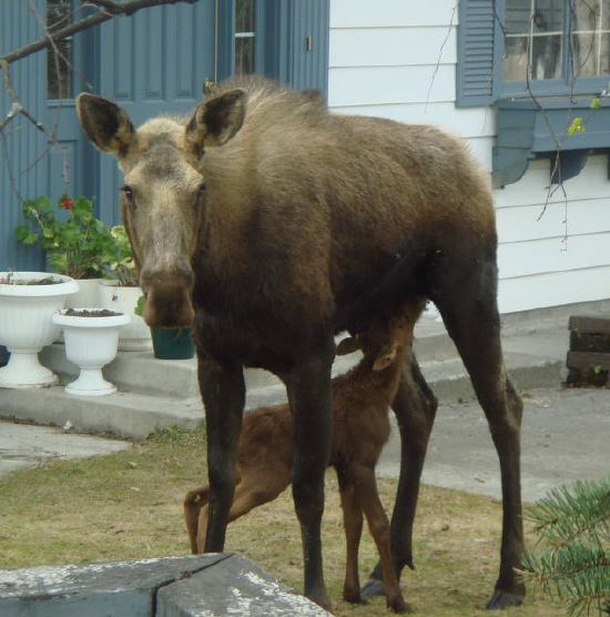 Baby Moose Hungry