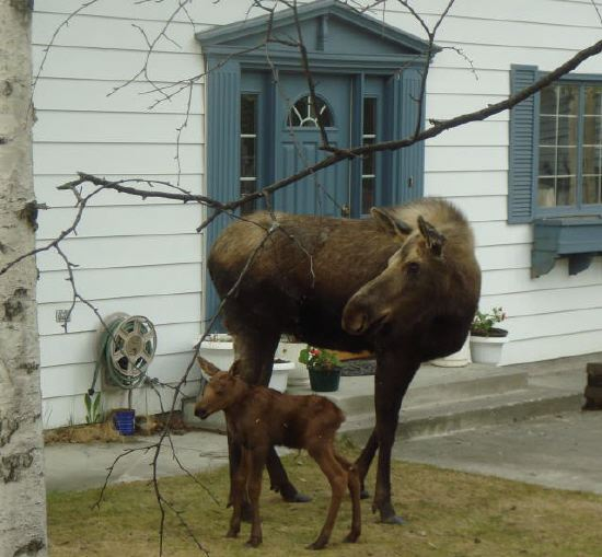 Momma nd Baby Moose