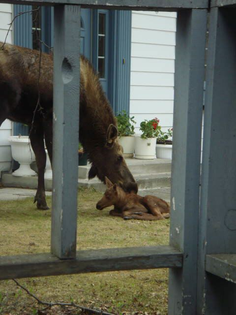 Momma Cleaning Baby Moose