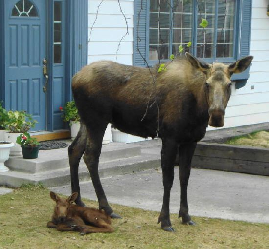 Resting Baby Moose