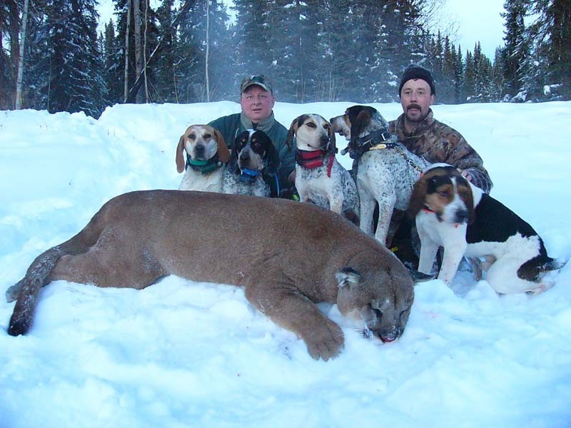 Big Cougar with Hounds