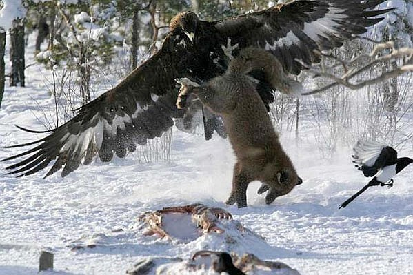 Eagle attacking a fox