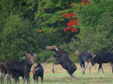 Cow Moose Playing