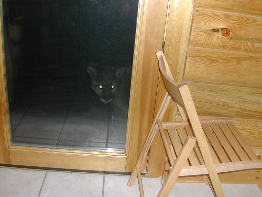 Cougar peaking into Camp Door