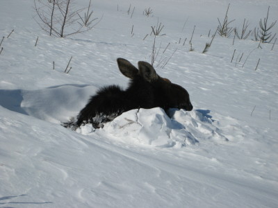 Moose Stuck In snow
