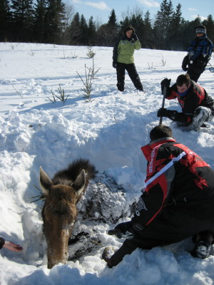 Shoveling around the Moose