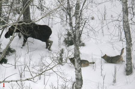 Wolves and Moose