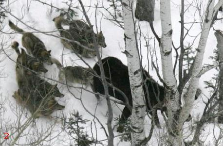 Pack of Wolves at First attack on Moose