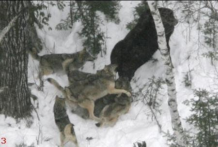 Wolves attacking Moose
